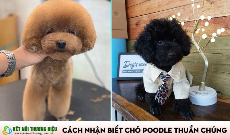 Cách nhận biết chó poodle thuần chủng